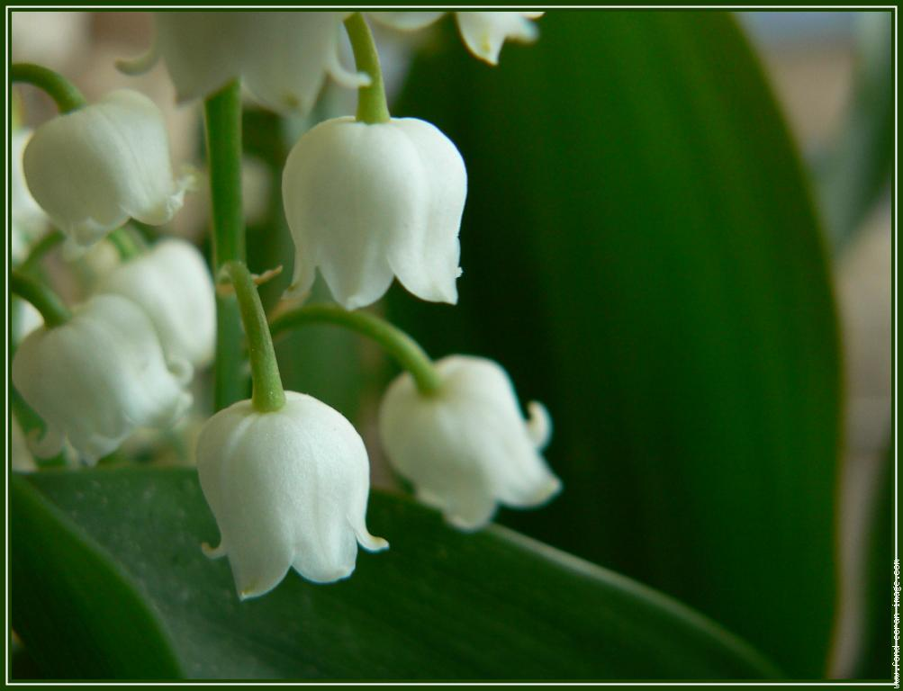 le muguet du 1er mai may 1st lilly of the valley french a l a carte usa. Black Bedroom Furniture Sets. Home Design Ideas