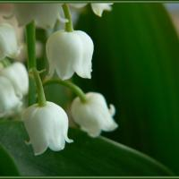 Le muguet du 1er mai / May 1st Lilly of the Valley